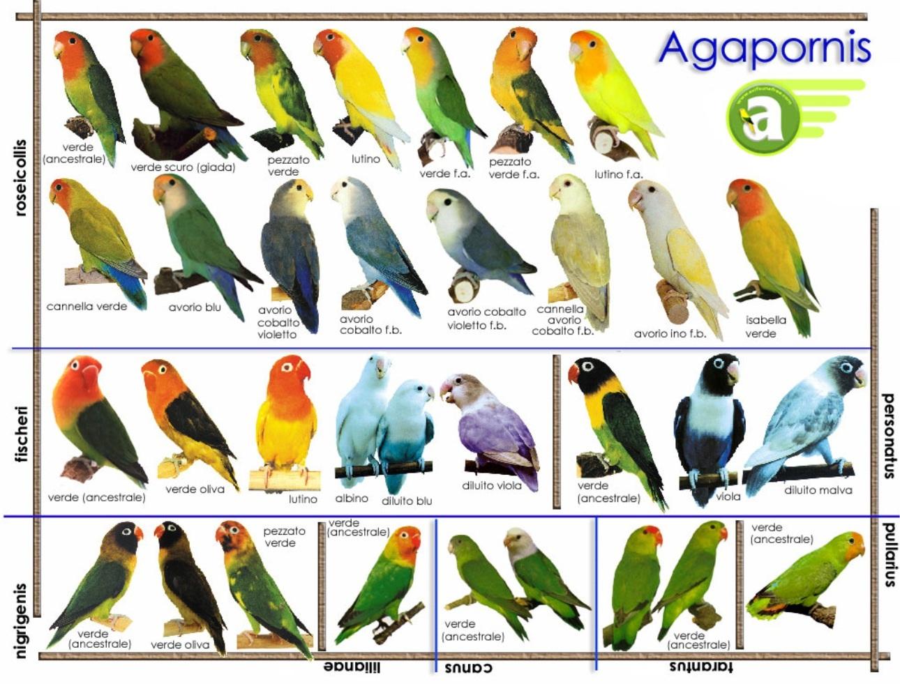 О девяти видах небольших попугайчиков