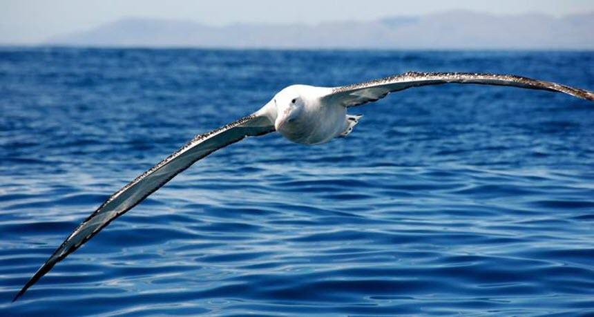 Альбатрос странствующий – причина задуматься