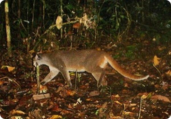 Сделаны фото редчайшей кошки на планете