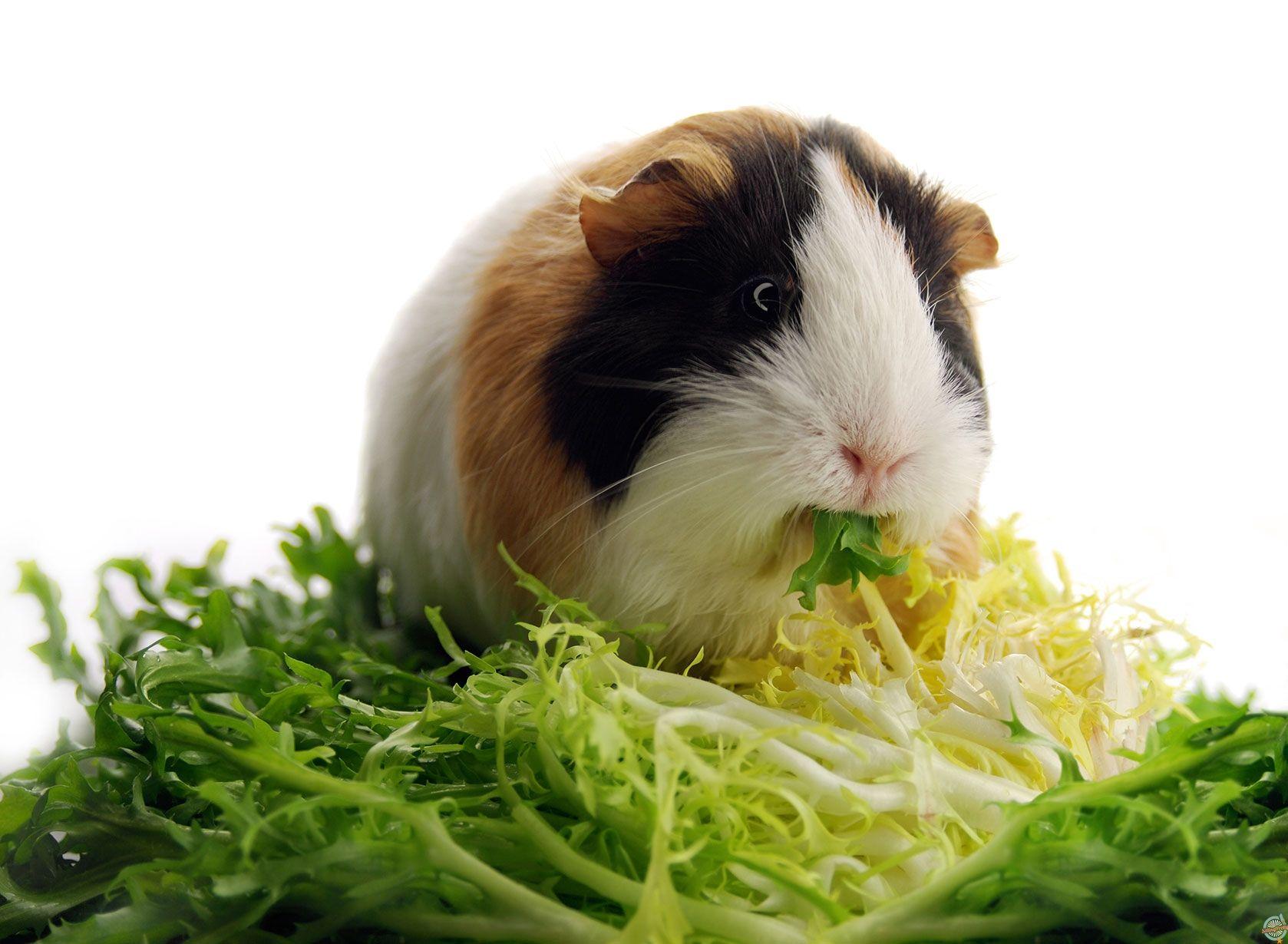 Питание морских свинок