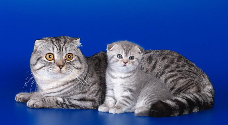 7 самых дорогих пород кошек в мире