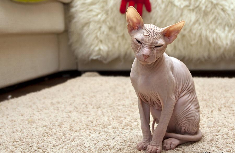 Сфинксы - лысые кошки
