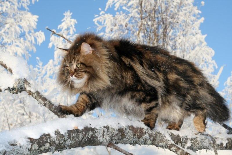Сибирская кошка - прирожденный охотник