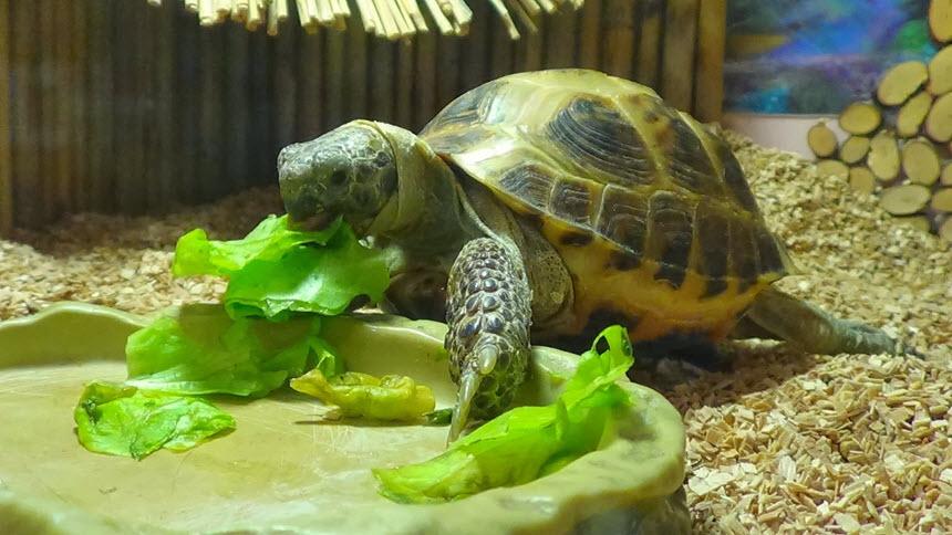 Как держать дома сухопутных черепах