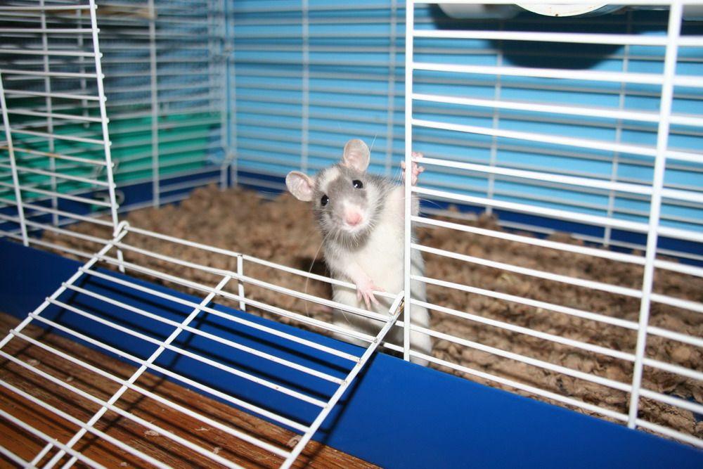 Как заботиться о ручных крысах