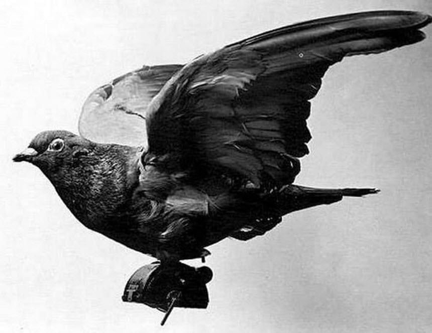 Голуби - крылатые связисты