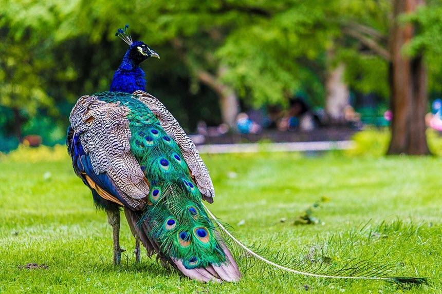 Величественная птица павлин