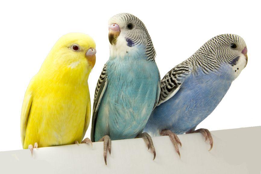 Какого попугая выбрать?