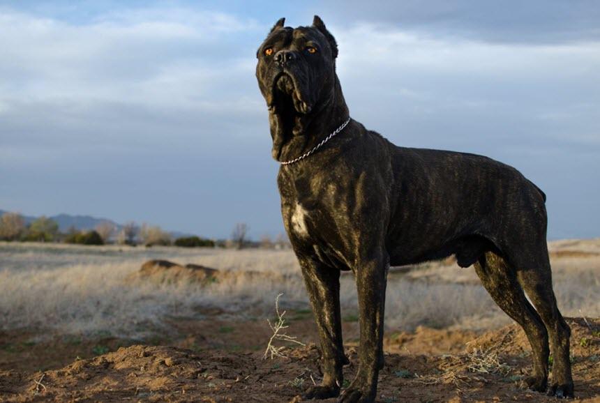 Потомки большой римской сторожевой собаки