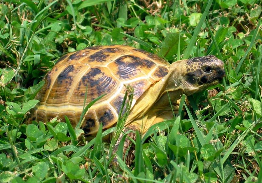 Два самых распространенных вида домашних черепах
