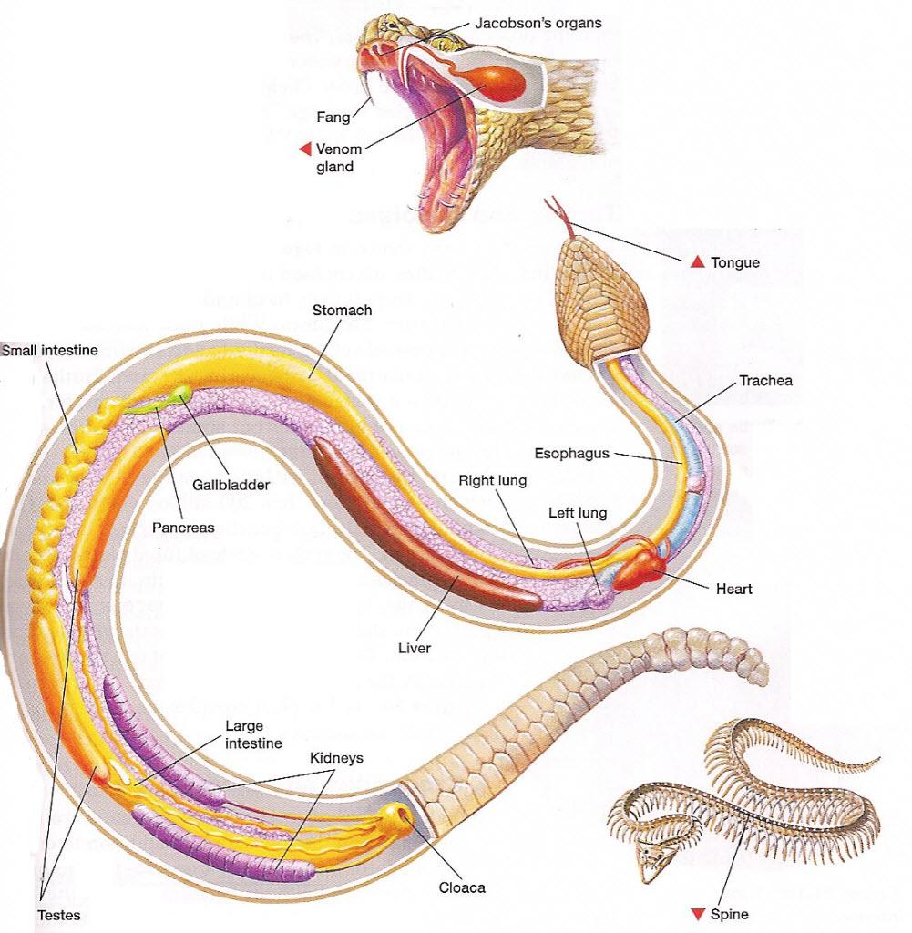 Что Вы не знали о змеях?