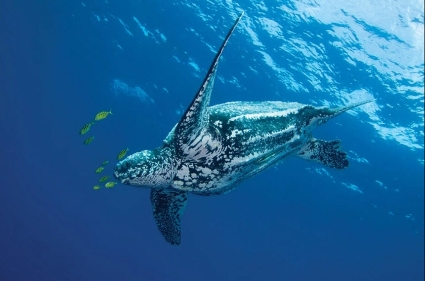 Самая крупная черепаха на планете