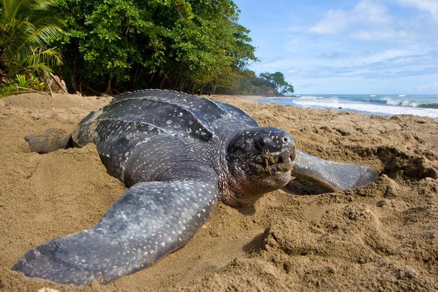 медуза может самая крупная черепаха в мире фото это сумо после