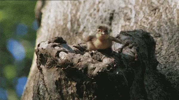 Яркие утки-мандаринки