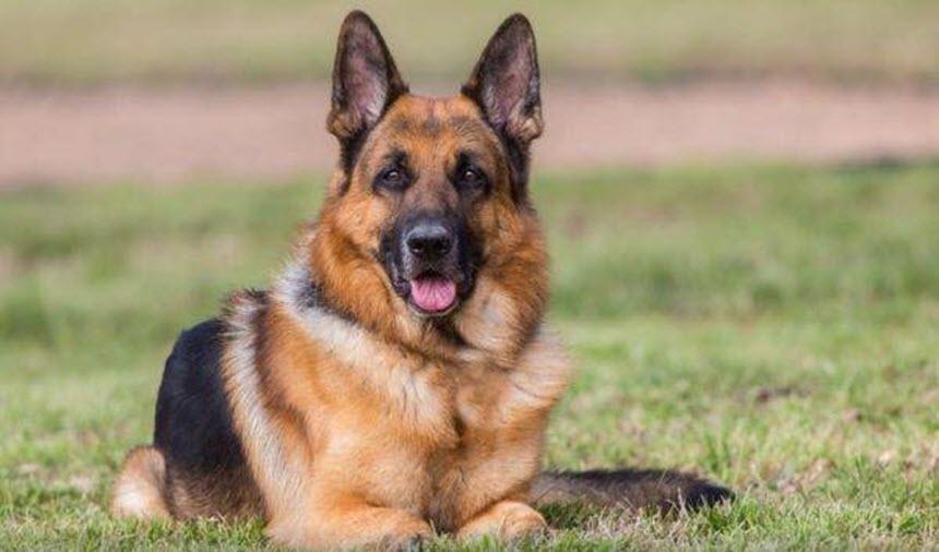 Лучшая собака для охраны квартиры и дома
