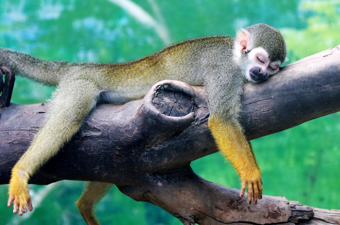 Саймири - беличья обезьяна
