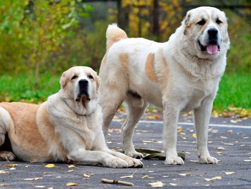 Самые сильные и опасные собаки мира