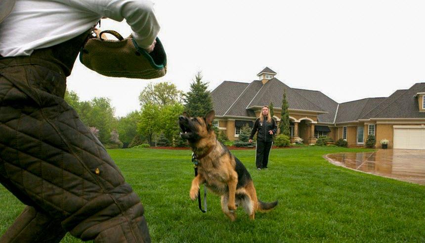 Как выбрать собаку для охраны