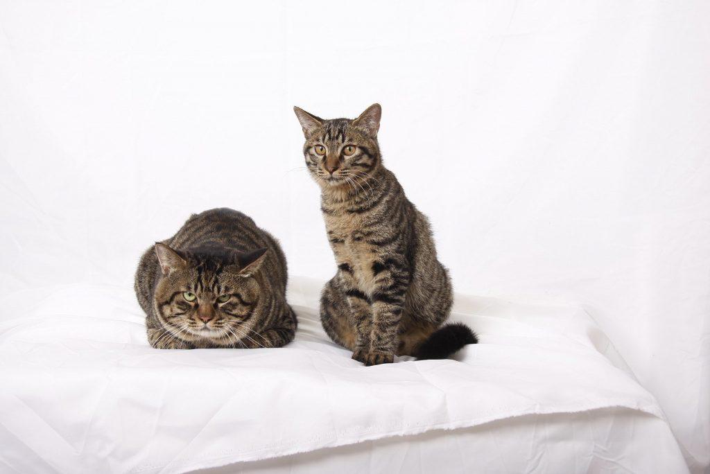 Порода кошек Дракон Ли (Ли Хуа Мао)