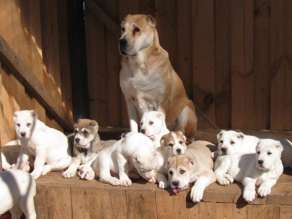 Как выбрать щенка алабая