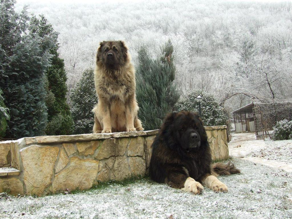 Шарпланинац – пастушья порода собак
