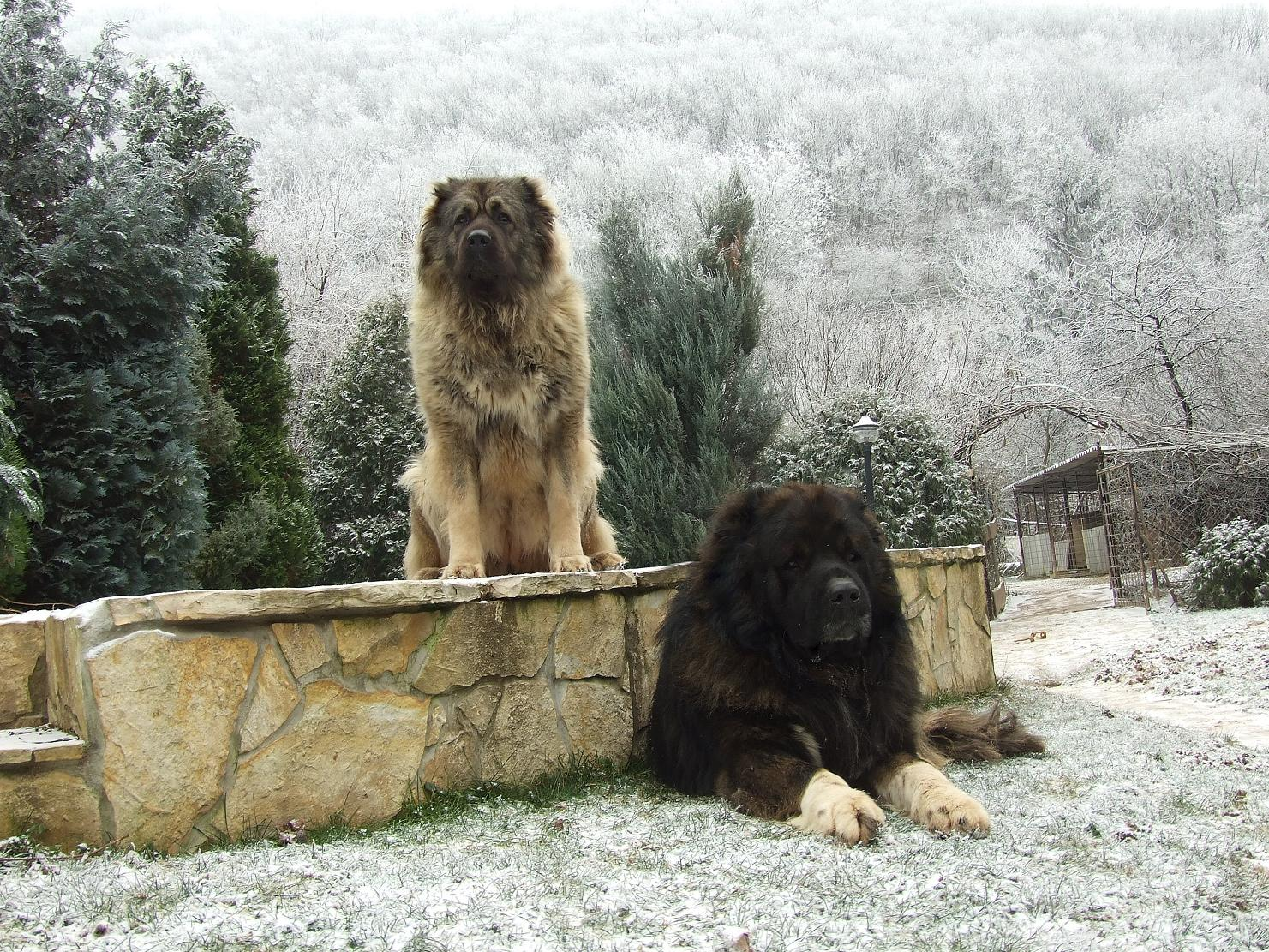 характер породы собаки шарпланинская овчарка