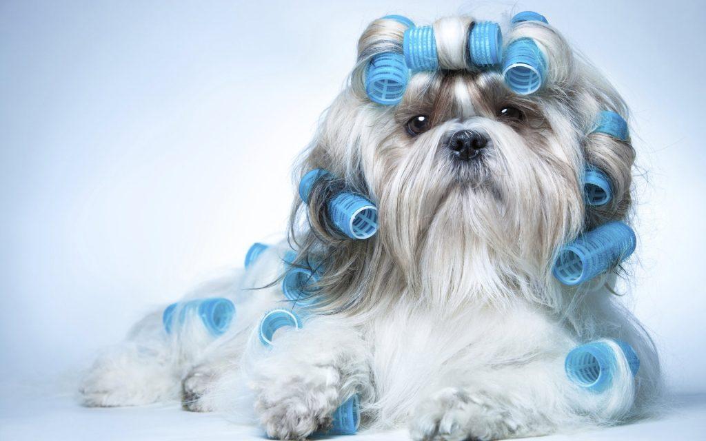 Особенности породы собак ши-тцу