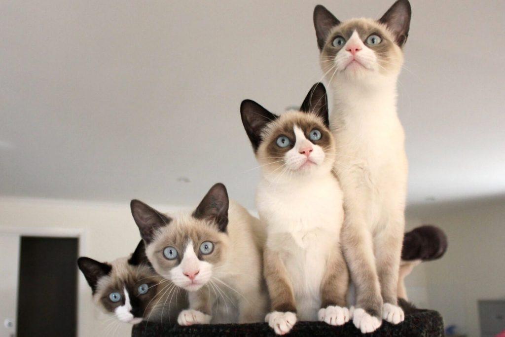 Кошка породы Сноу-шу