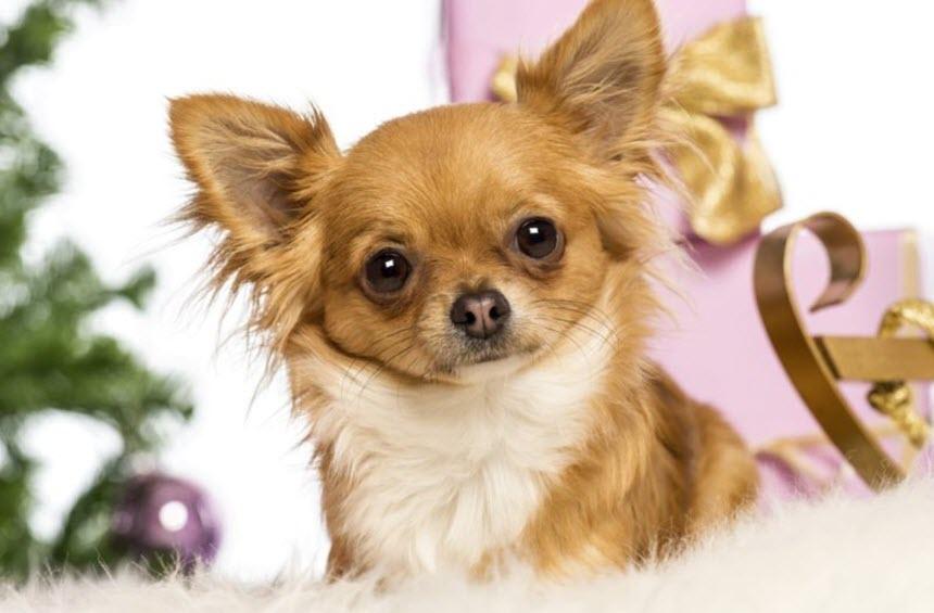 Чихуахуа: особенности характера, описание породы собаки