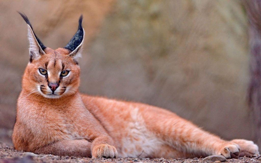 Рысь - грациозный хищник