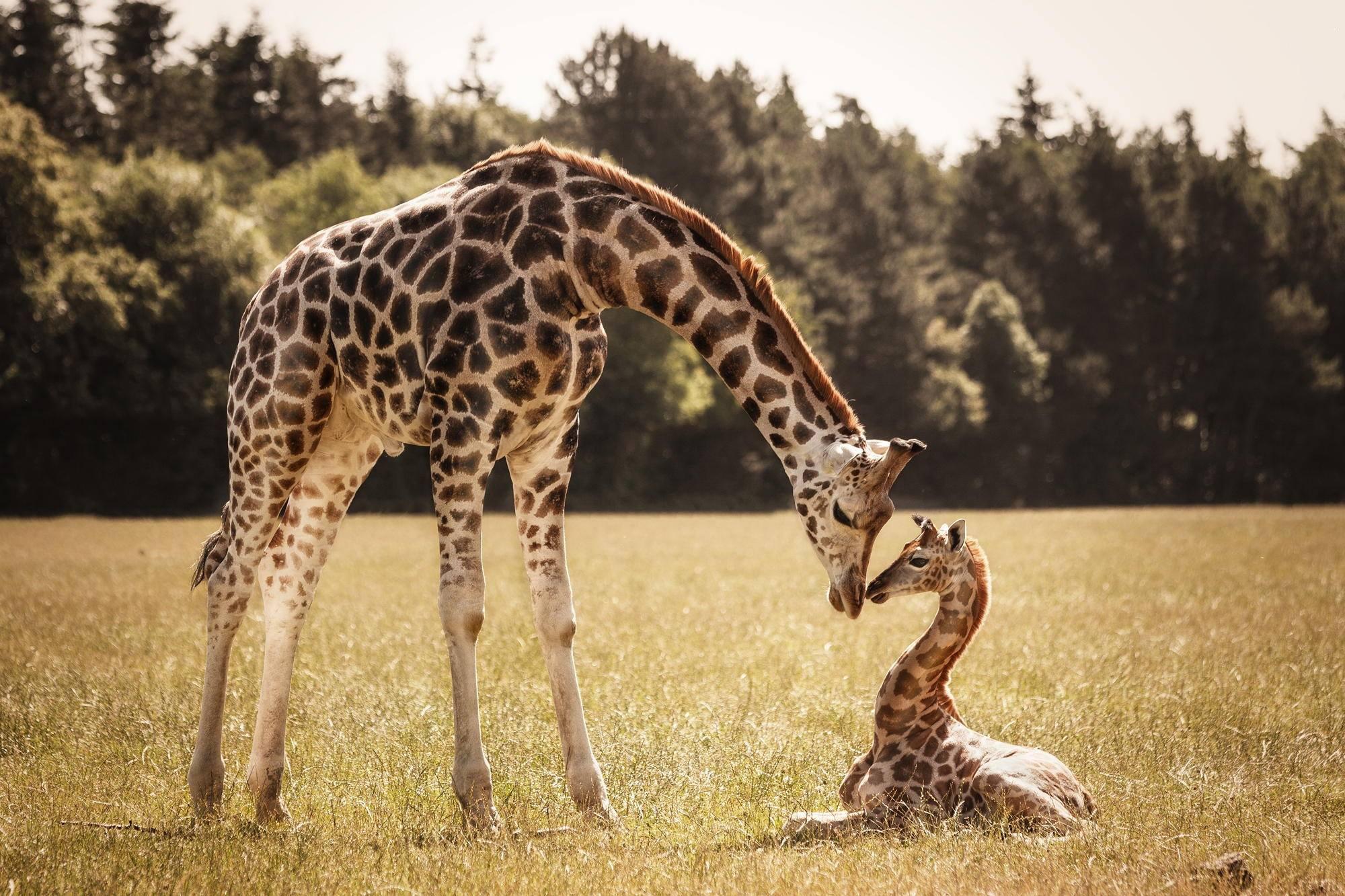 Жирафы (13 интересных фактов)