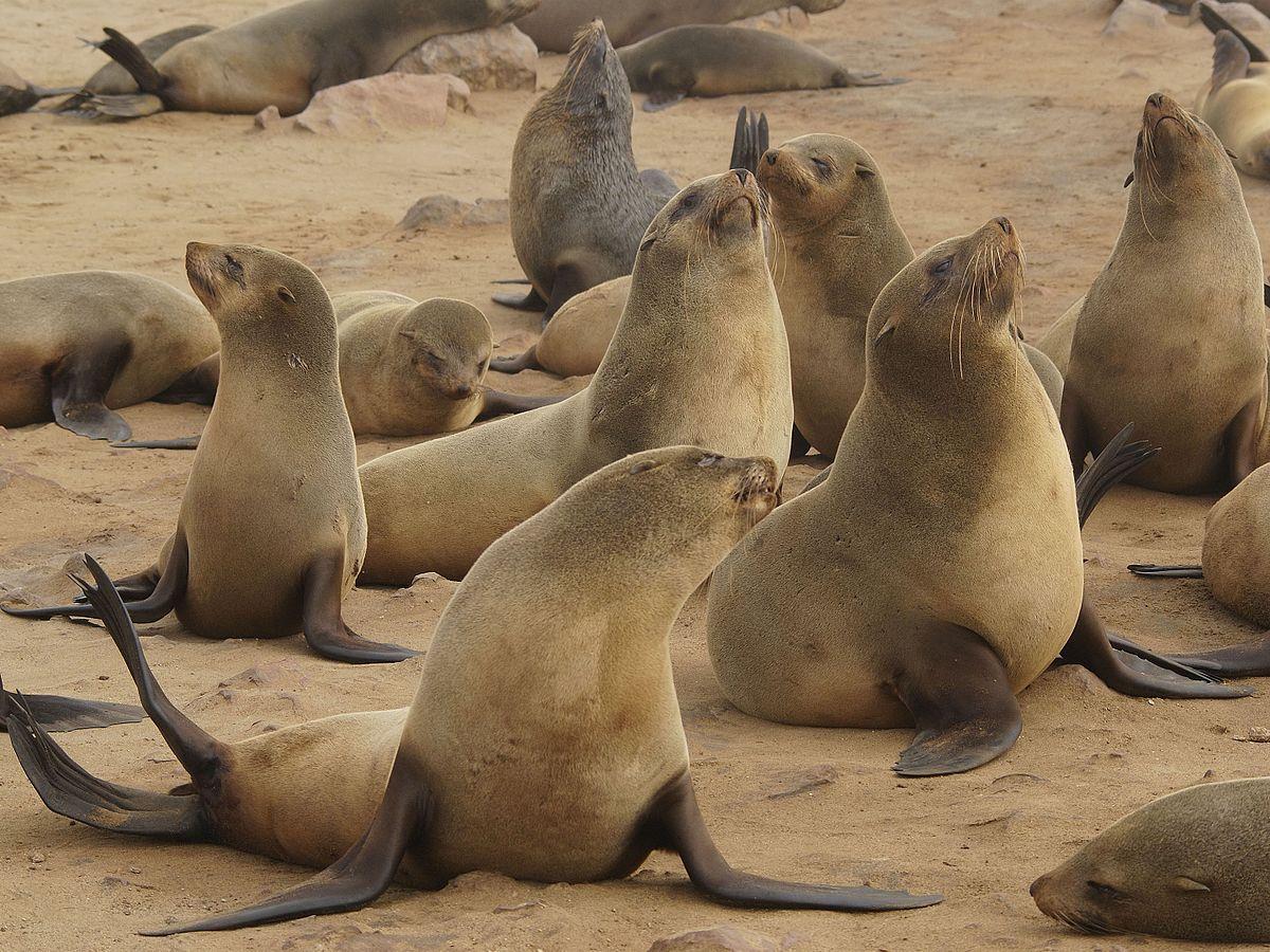 Капские тюлени Африки