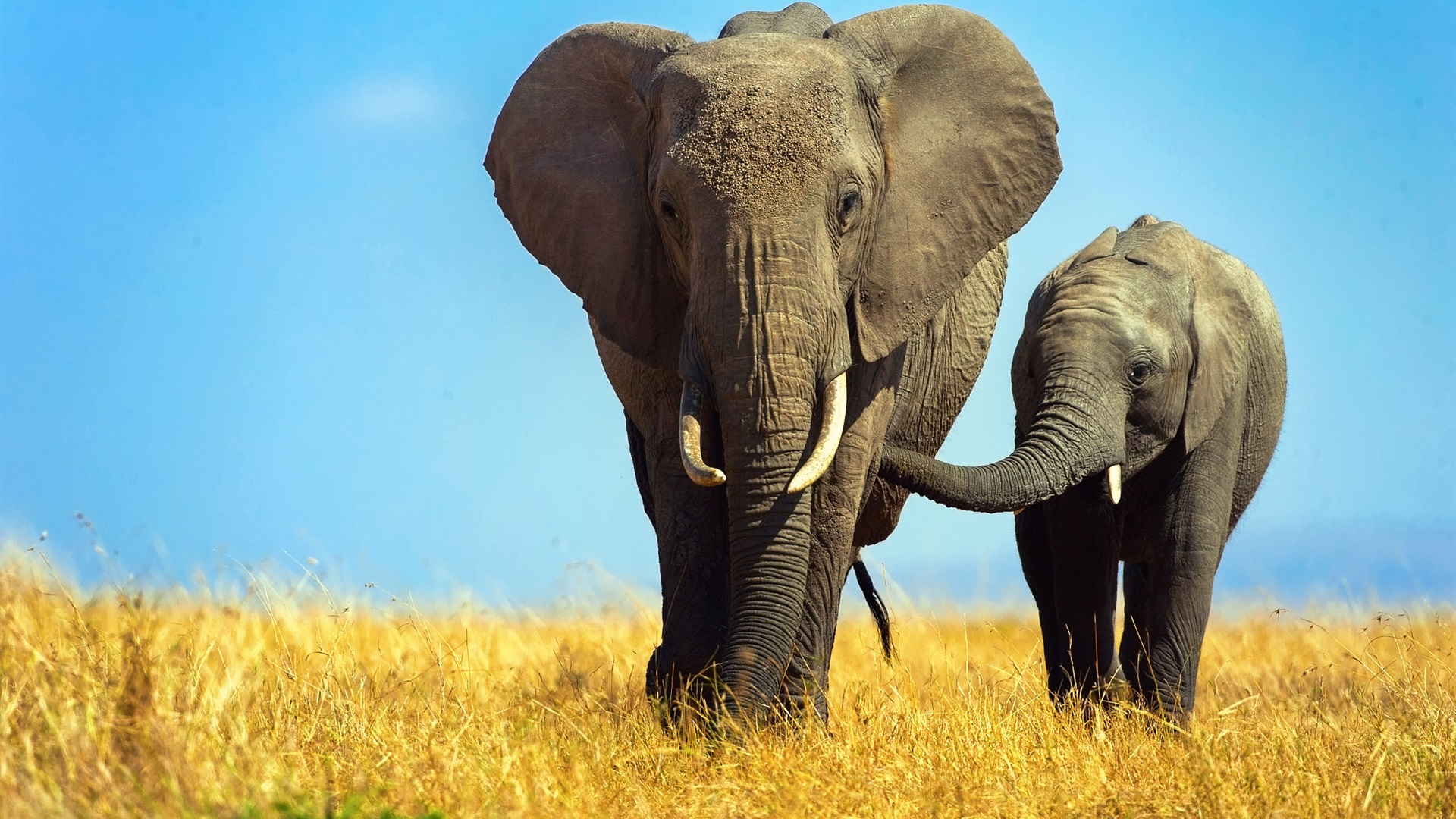Травоядный великан - слон