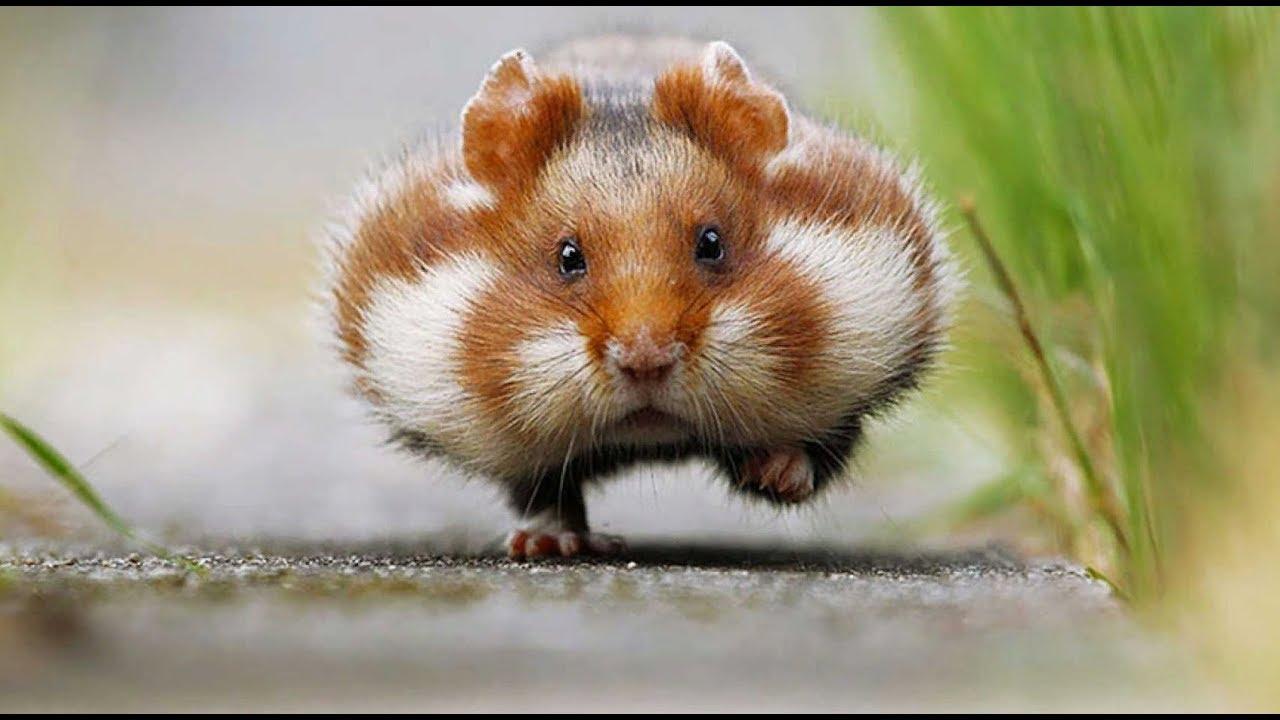 Хомяки – это прекрасные и милые создания.