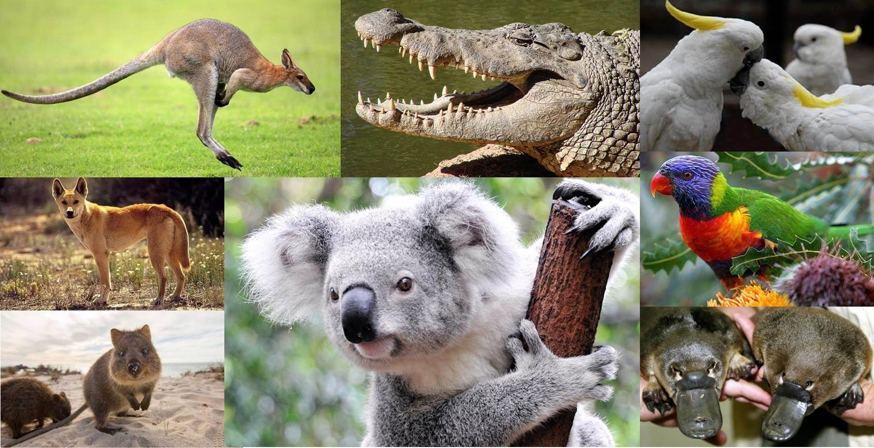 животные обитающие только в австралии картинки это еще