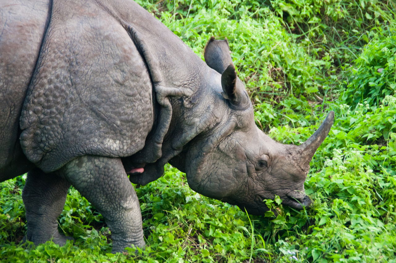 javan rhino facts range habitat diet population pictures - HD 1280×853