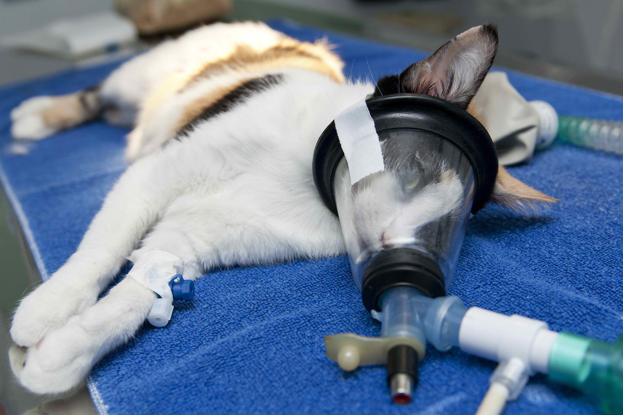 Вреден ли наркоз для животных