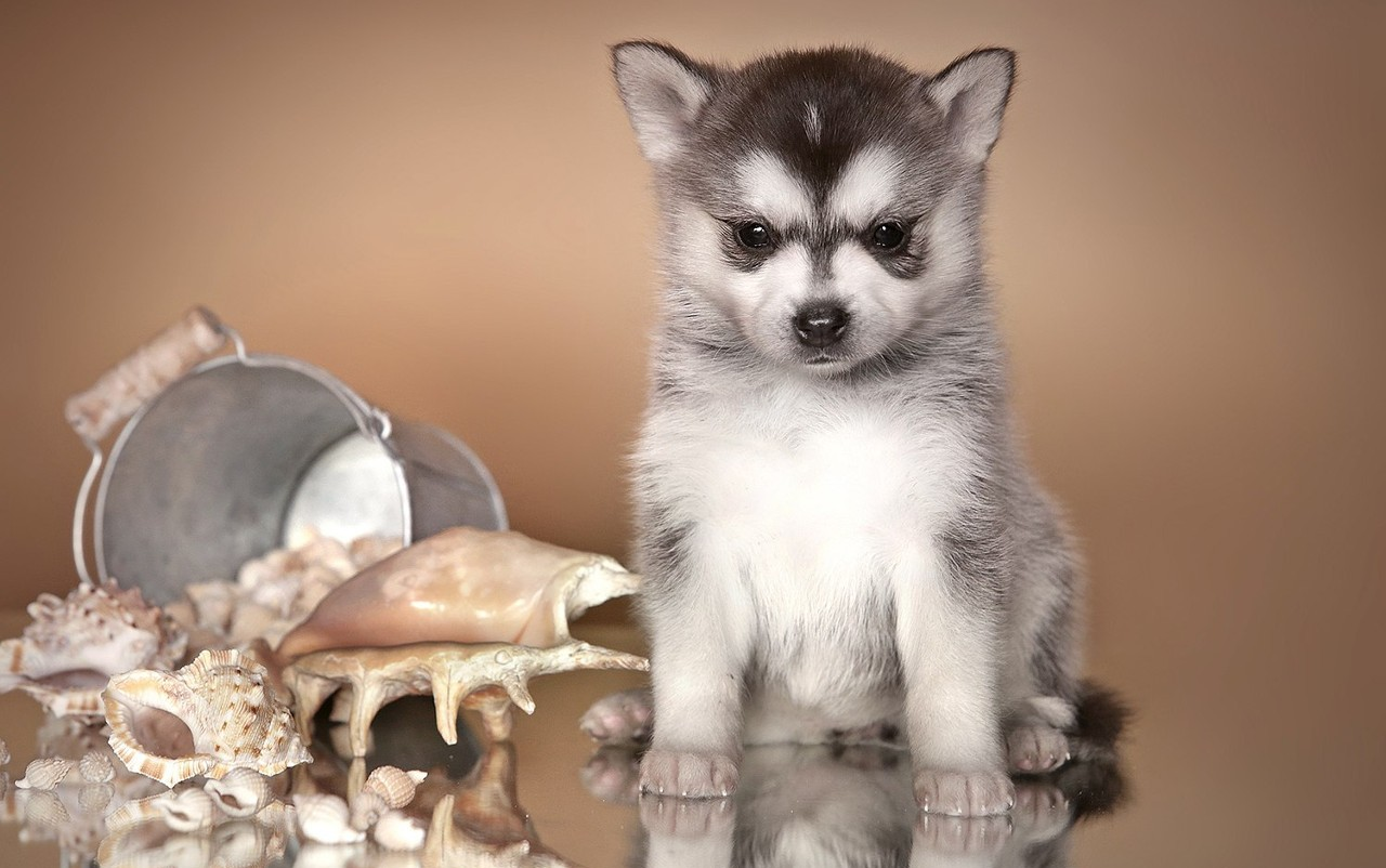 Аляскинский кли-кай (мини-хаски)