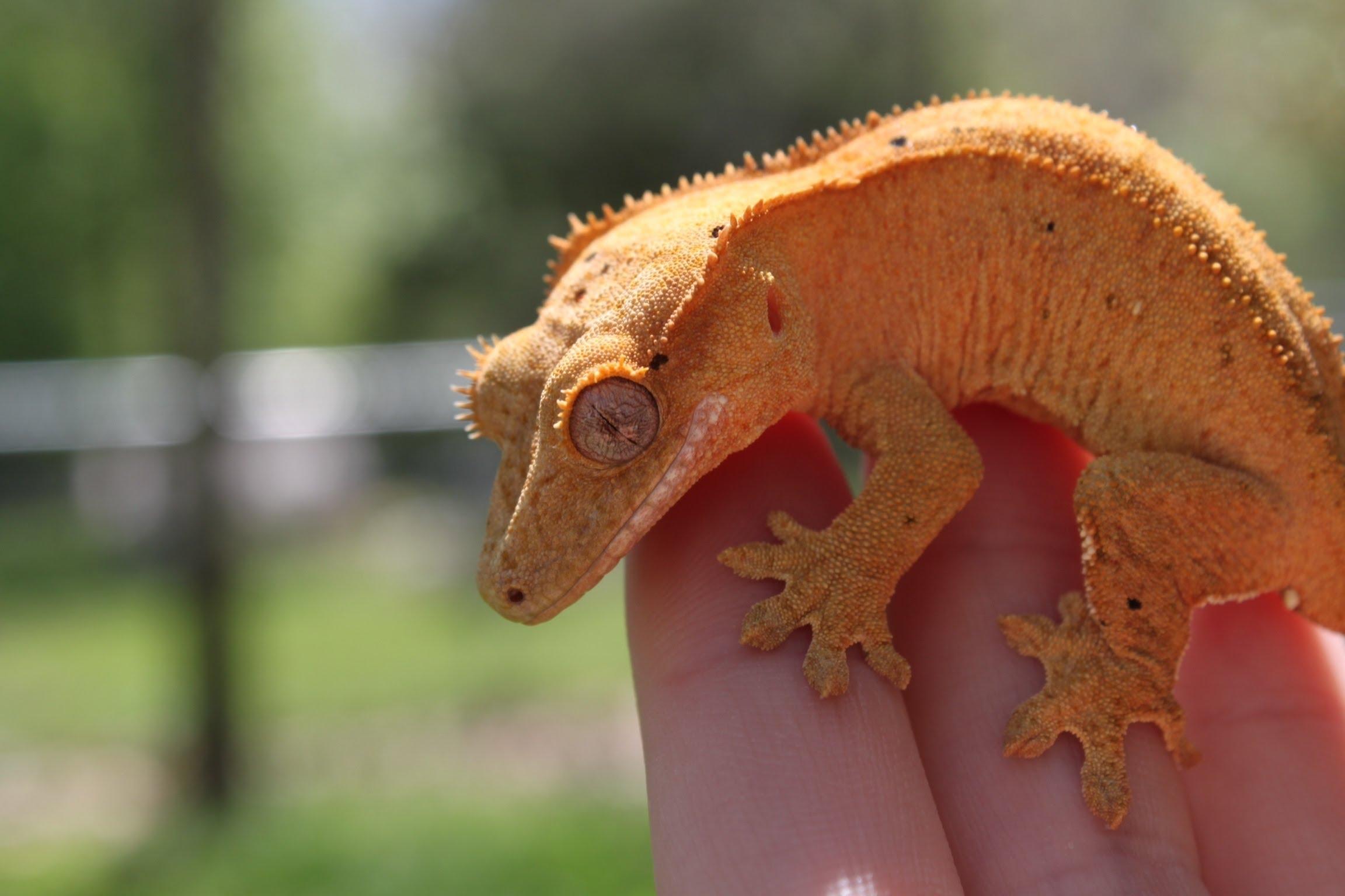 Реснитчатый бананоед - маленький дракон