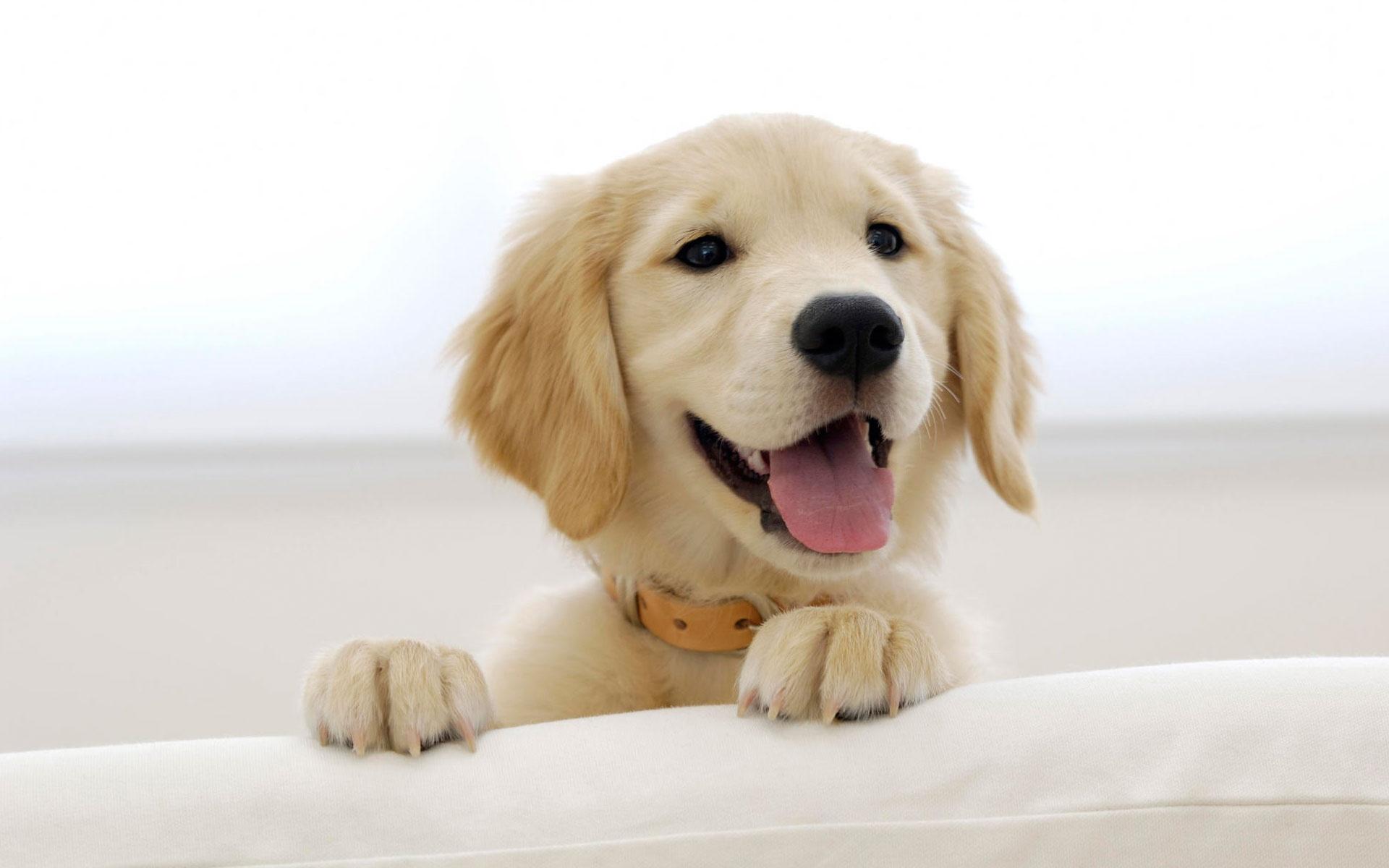 Выбираем щенка ретривера