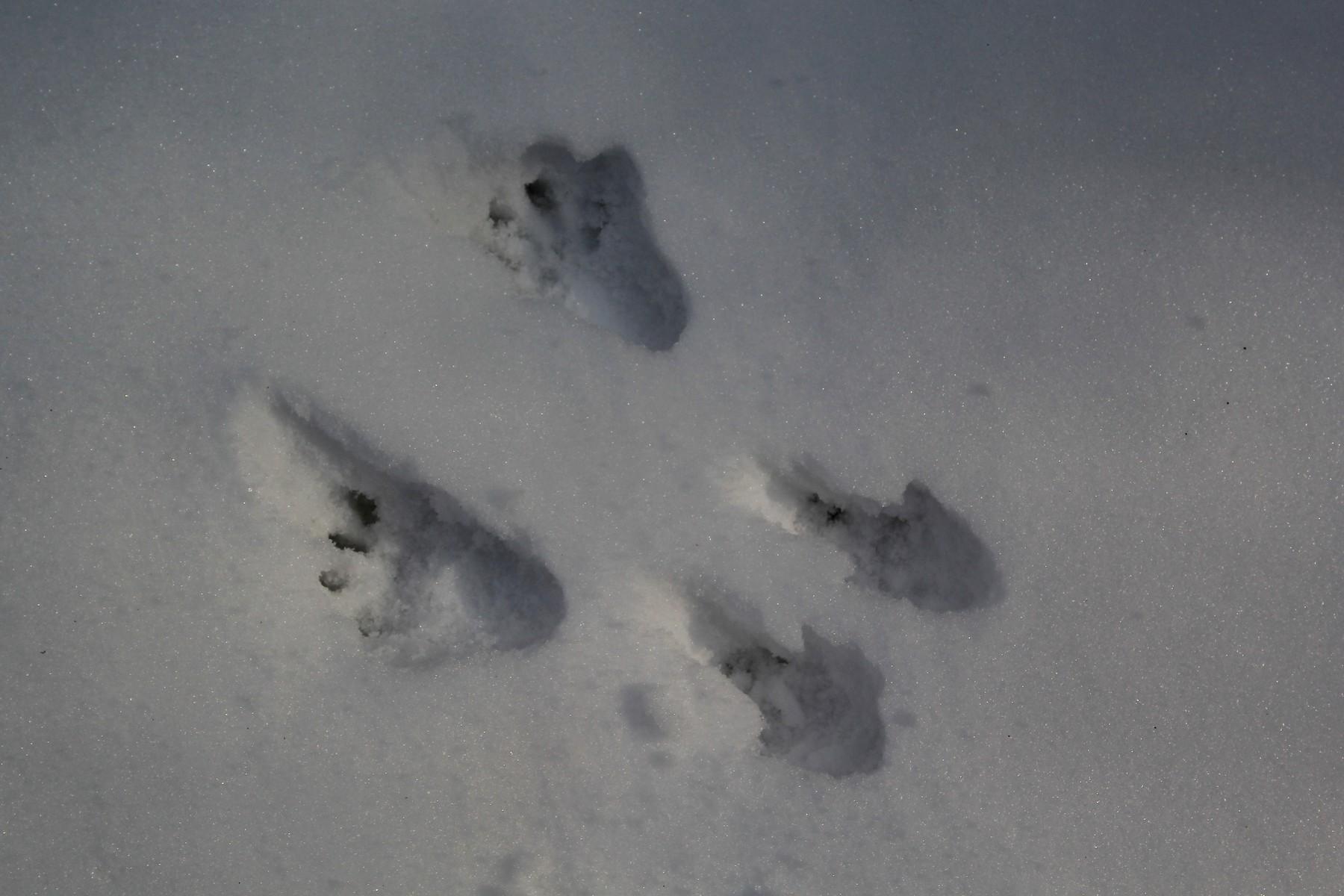 По следам животных...