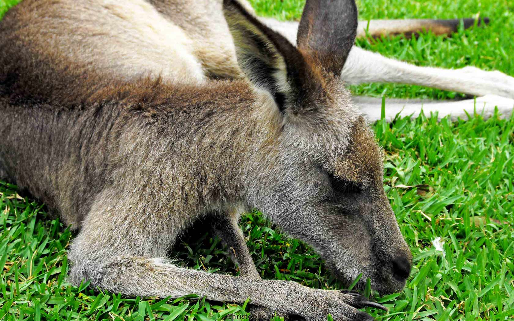 Самые интересные факты про кенгуру