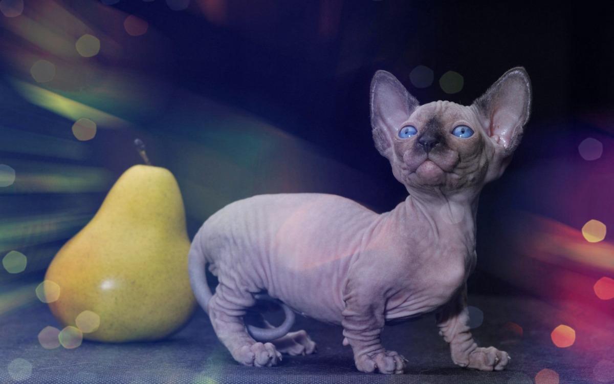 Кошка породы Бамбино