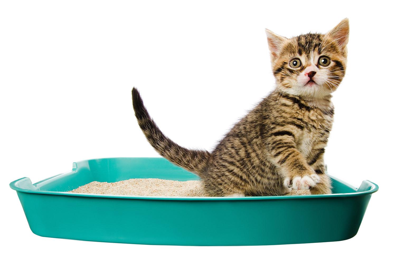 Как приучать котенка к лотку?