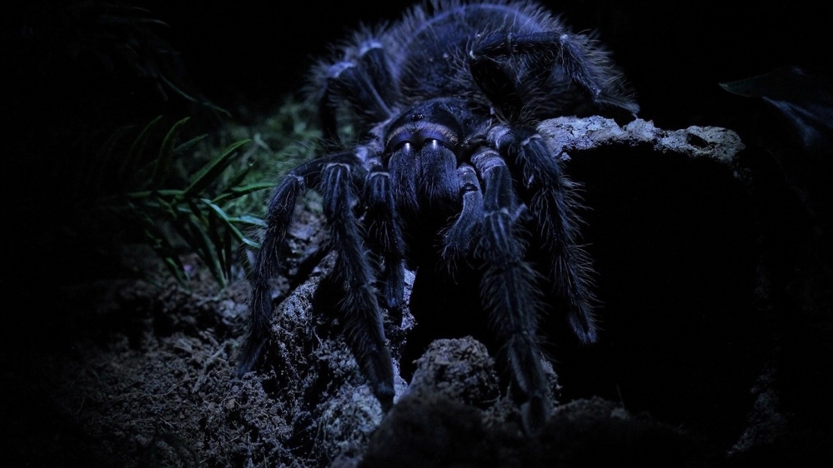 Черный тарантул: секреты содержания