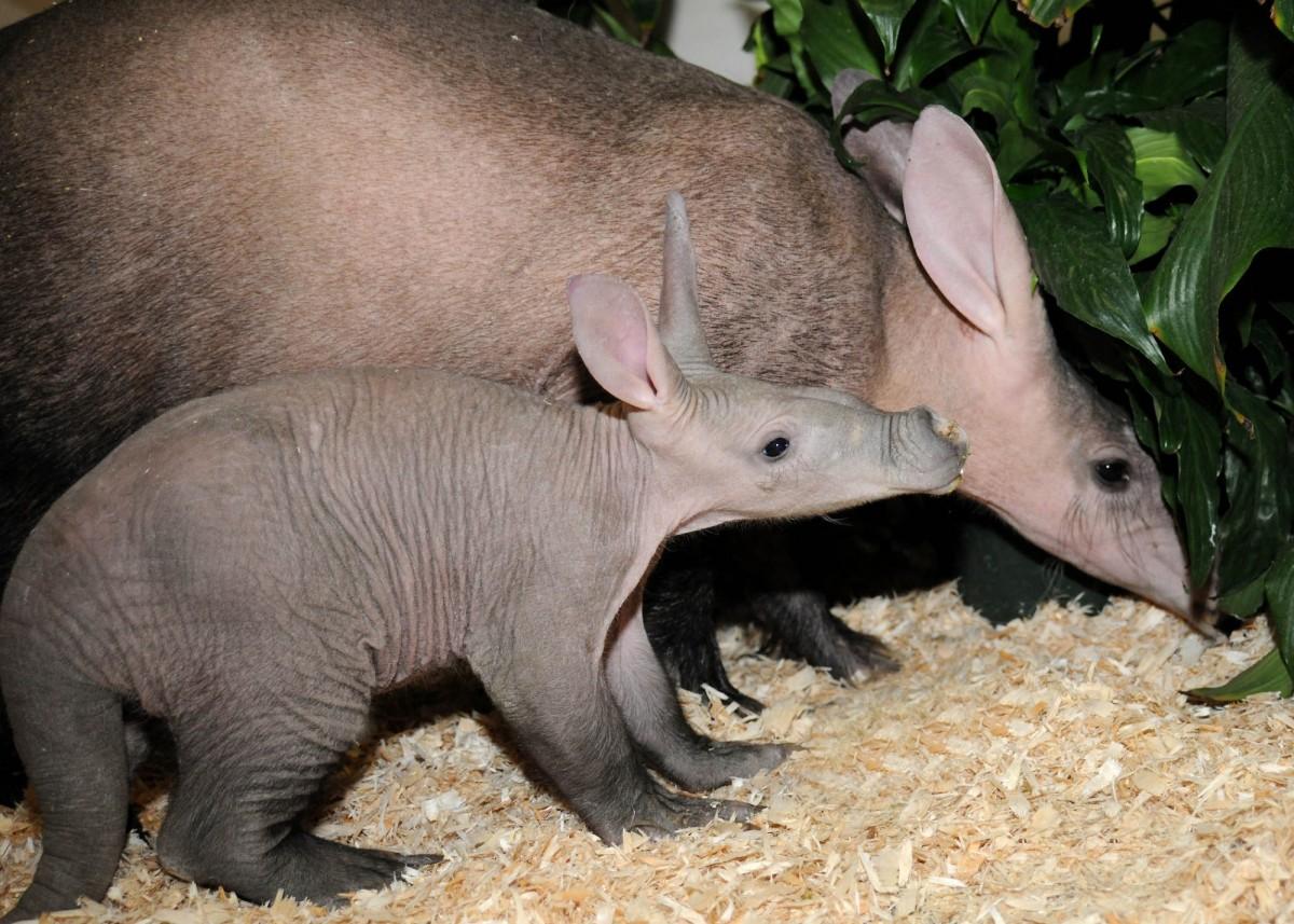 Африканский трубкозуб - таинственное животное саванн