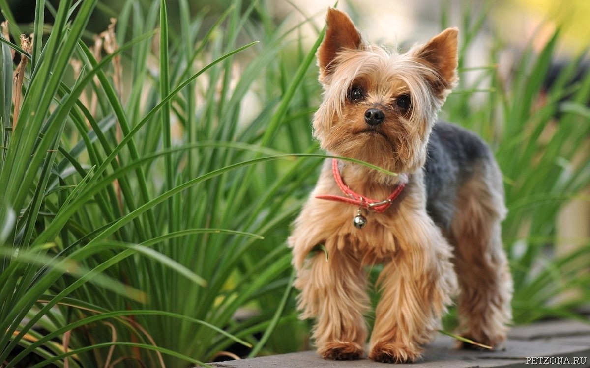 8 гипоаллергенных и нелиняющих собак