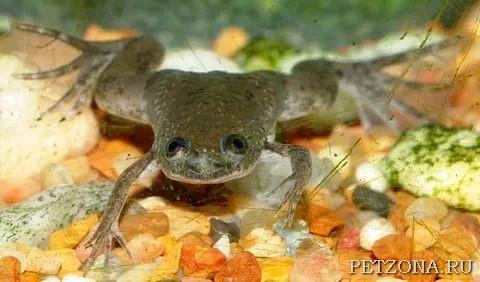 Африканская когтистая лягушка (шпорцевая лягушка)
