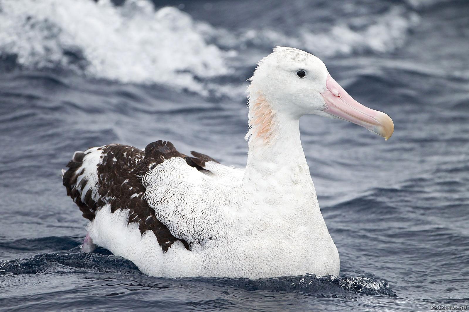 Альбатрос странствующий (Diomedea exulans)