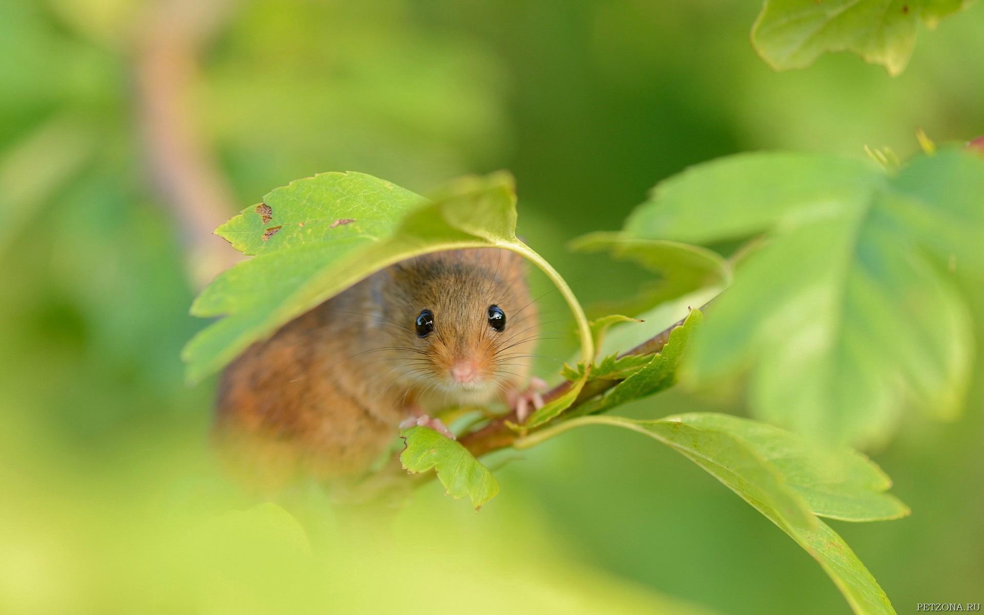 Мышка-норушка (виды мышей)